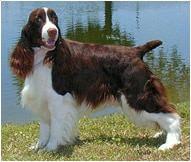 The English Springer Spaniel Dog Breed